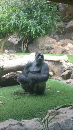 Loro Parque: Gorila de montaña