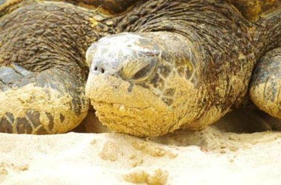 Oahu Photography Tours : Our friendly sea turtle