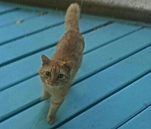 Boardwalk Hotel Aruba: Orange Kitty...Such a sweetie