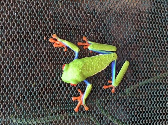 Arenal Natura Parque Ecológico: Red eye tree frog, beautiful!