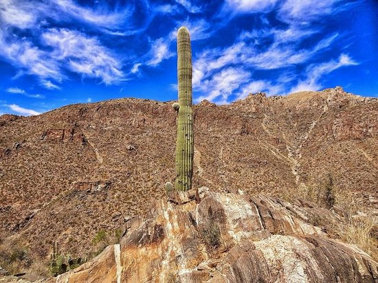 Sabino Canyon: Saguaro on Phoneline Trail