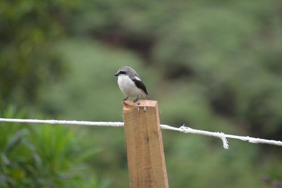Broadbill Forest Camp: Mackinnon's fiscal on nearby fence