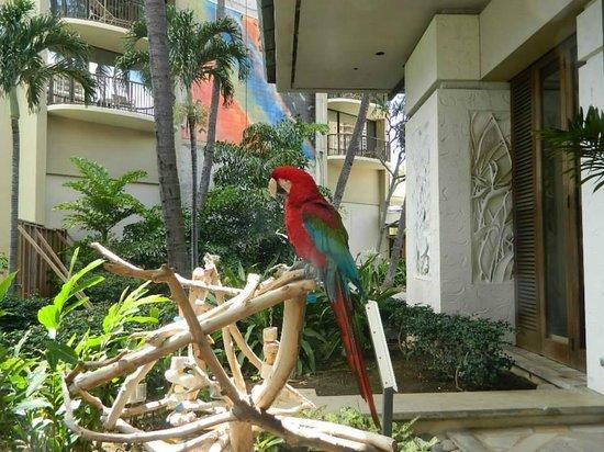 Hilton Hawaiian Village Waikiki Beach Resort: el andaba libremente en el hotel, precioso!