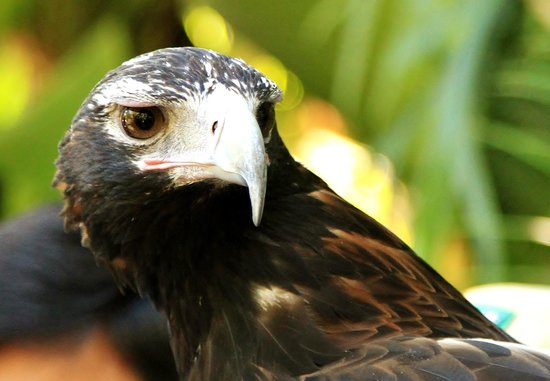 Australia Zoo : Wedge-Tailed Eagle
