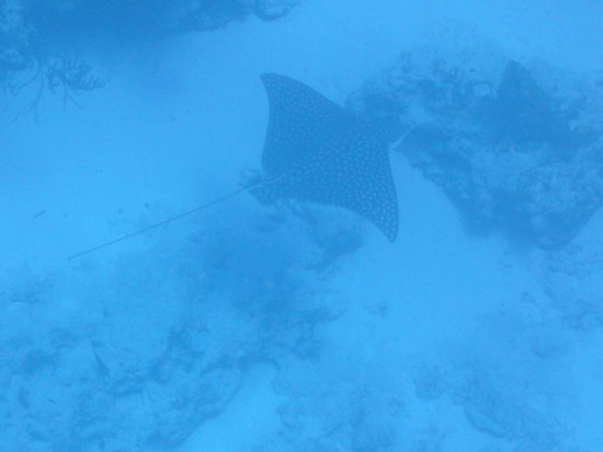 Allegro Cozumel: spotted eagel ray