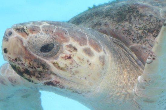 Loggerhead Marinelife Center: Turtle