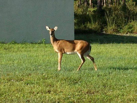 Deer at Jonathan Dickinson State Park