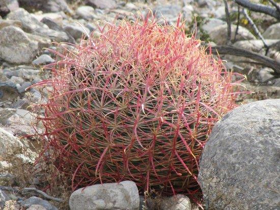 Mojave National Preserve: Barrel cactus