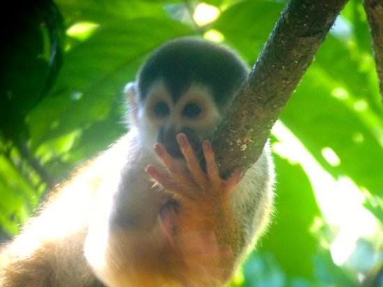 Surcos Tours : Squirrel Monkey, Corcovado