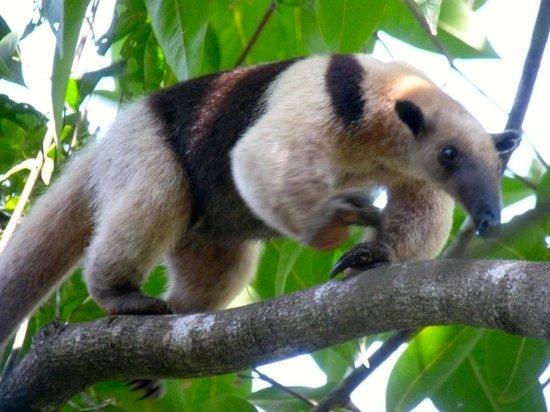 Surcos Tours : Tamandua (anteater), Corcovado