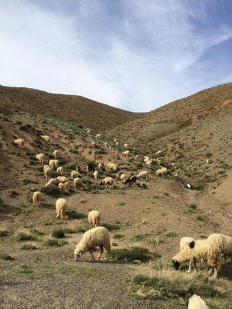 Atlas and Sahara Day Tours : Sheep and goats