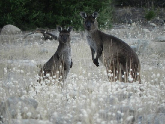 Flour Cask Bay Retreat: Kangaroos in the field around the homestay at dusk.