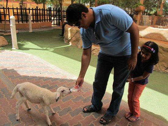 Emirates Park Zoo: Feeding milk to lamb!