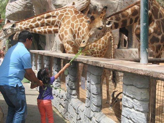 Emirates Park Zoo: Feeding The Giraffe
