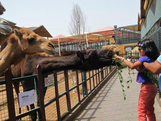 Emirates Park Zoo: Feeding Camel