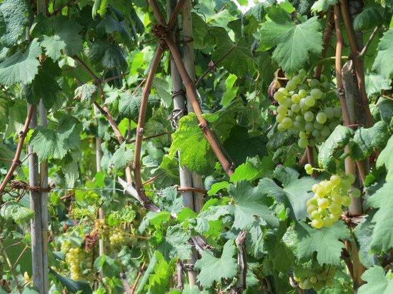 Tenuta del Poggio Antico: виноградник