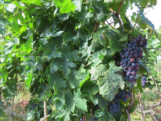 Tenuta del Poggio Antico: виноградник на территории