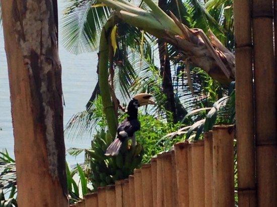 Paradise KohYao : Hornbill on our fence!