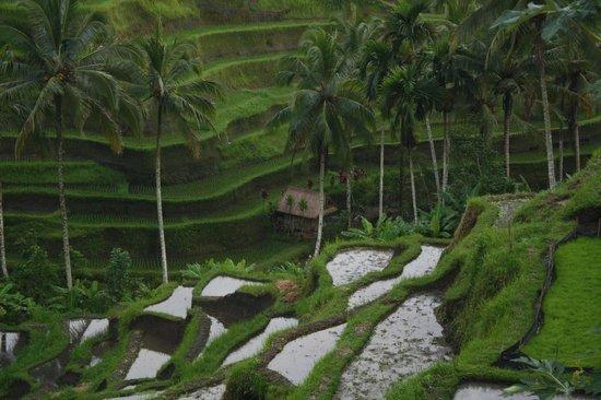 Alila Ubud: A trip around the Paddy fields.