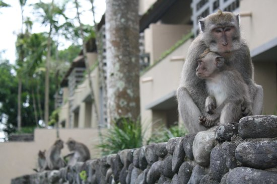 Alila Ubud: Our monkey friends. They always parade down the paths around 4/5pm. Keep at arms length.