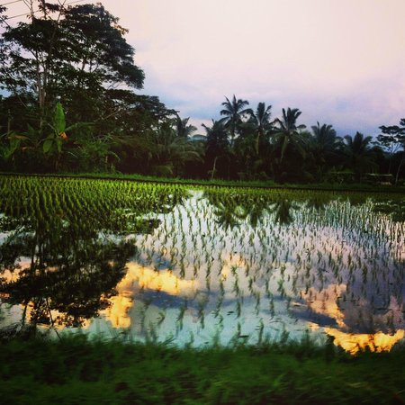 Alila Ubud: Paddy fields.