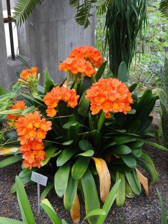 Botanischer Garten: Clivie