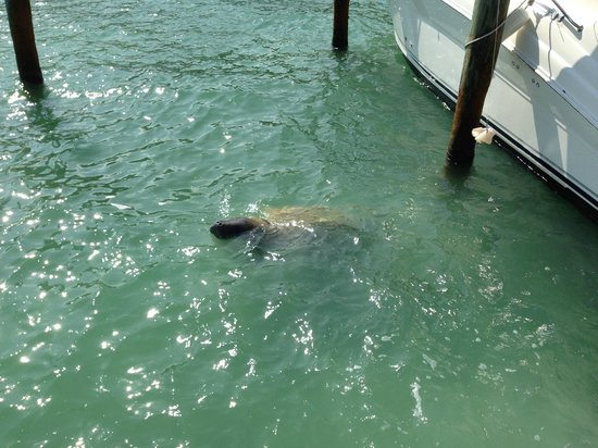 Hilton Key Largo Resort: Manatee