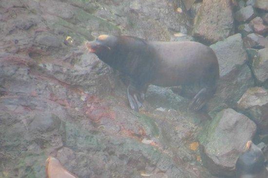 Sea Lion Caves: The Big Man !!