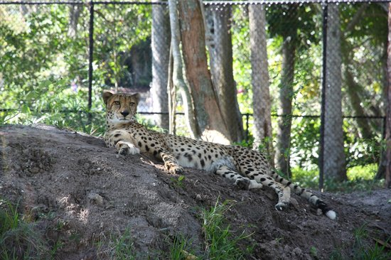 Naples Zoo at Caribbean Gardens : Cheetah Resting at the Naples Zoo