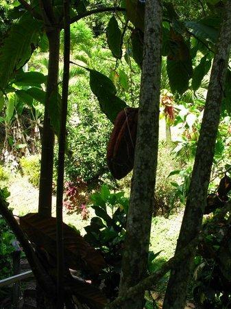 Annandale Falls: Cocoa Pod
