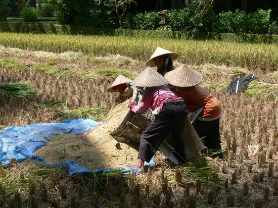 Ananda Cottages: Harvesting rice (withing hotel complex)