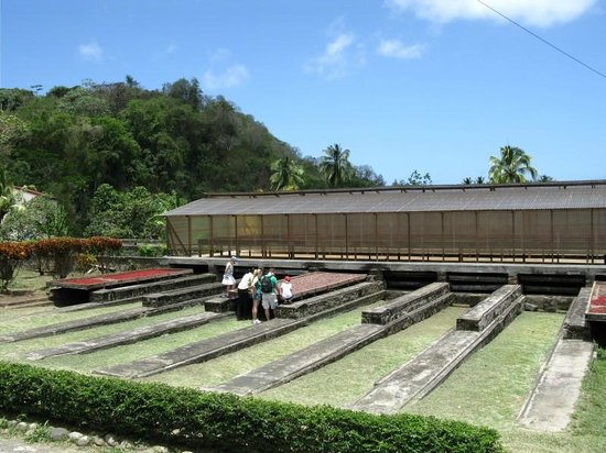 Belmont Estate: Cocoa beans drying