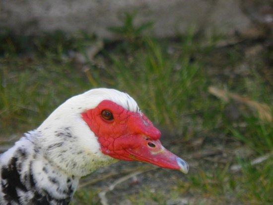 La Foret de Glenne: lovely duck