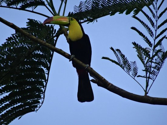 Black Rock Lodge: Keel-billed toucan spotted few times