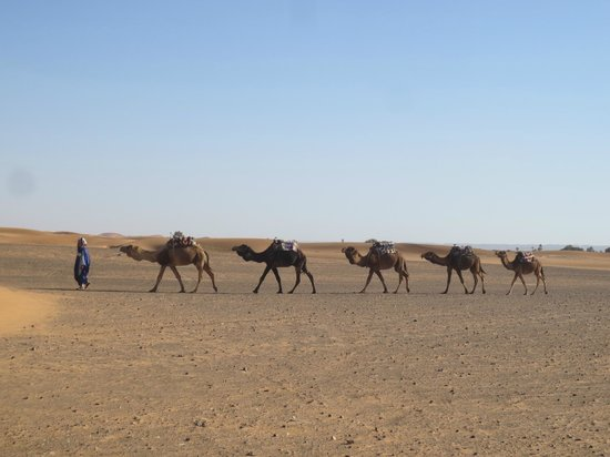 Morocco Discovery Holidays: our camels