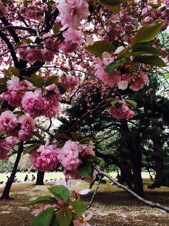 Shinjuku Gyoen National Garden: Sakura heaven!