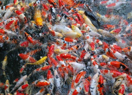 Formosan Aboriginal Culture Village Freizeitpark: 爭食的金魚