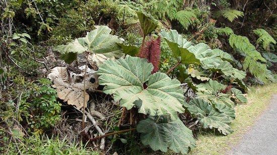 Poas Volcano: parapluplant