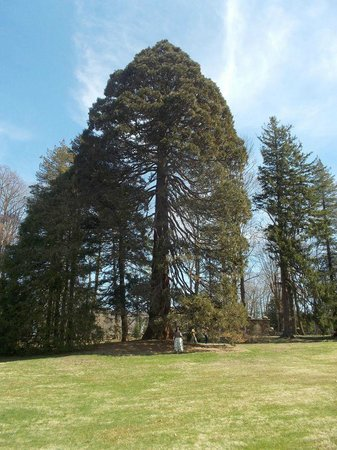 Blithewold Mansion, Gardens & Arboretum: Sequoia at Blithwolde