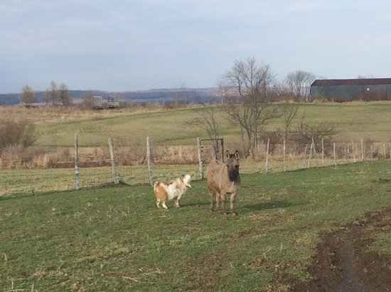 Hazen Manor: Adorable farm animals on the property!