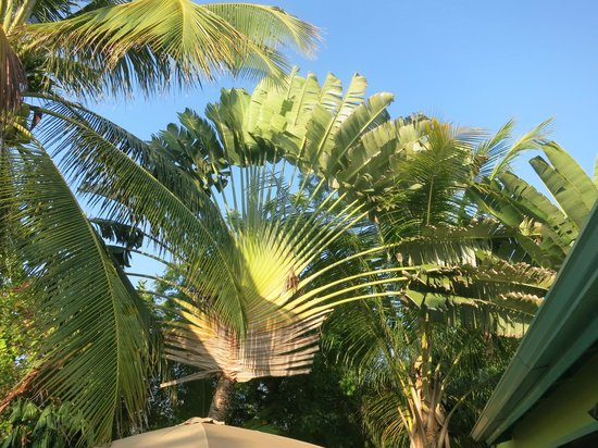 Casa Placencia Belize: Beautiful fan palms in the backyard near the pool