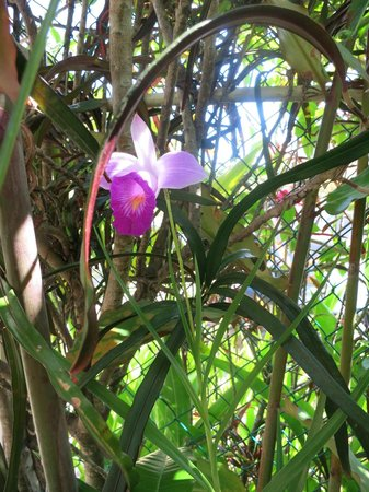 Casa Placencia Belize : Gorgeous orchid growing in Jacki's front garden.