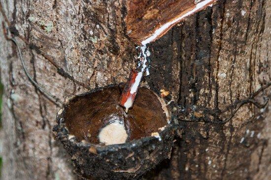 Elite Tours Sri Lanka : Latex juice tree