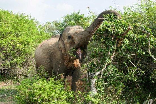 Elite Tours Sri Lanka : Elephant in Yalla Park