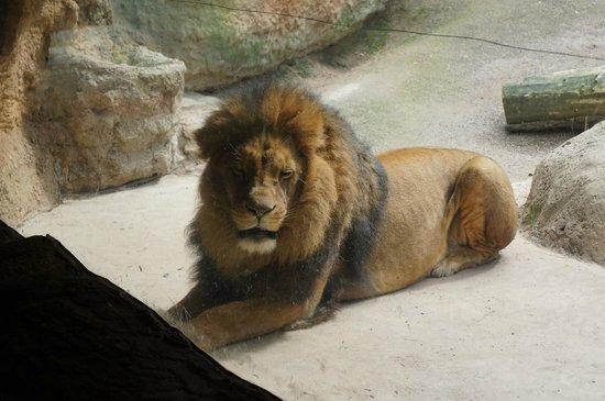 Zoo Wuppertal: a lion