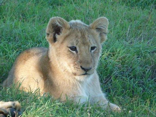 Schotia Safaris Private Game Reserve: Lion Cub