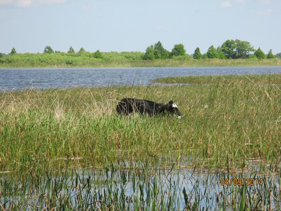 Alligator Cove Airboat Nature Tours: Who knew cows lived in the swamp?