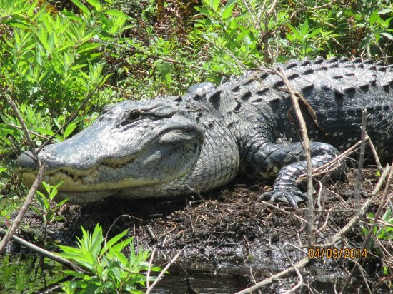 Alligator Cove Airboat Nature Tours: You may even see an alligator or two.