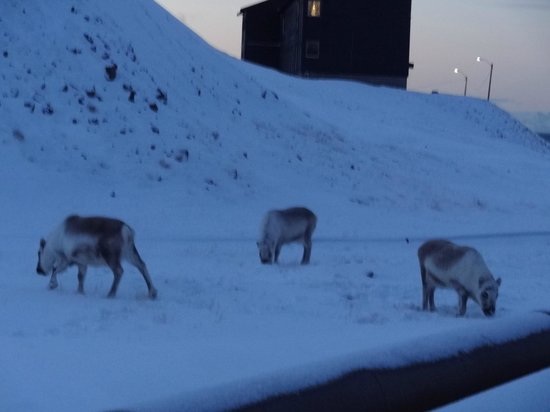 Mary-Ann's Polarrigg: Reindeer outside the hotel!