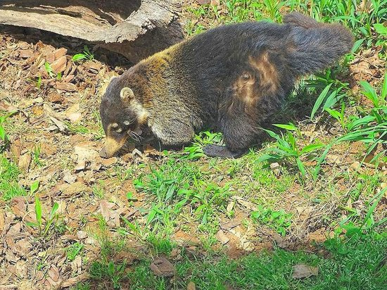 Greensboro Science Center : white-nosed coati